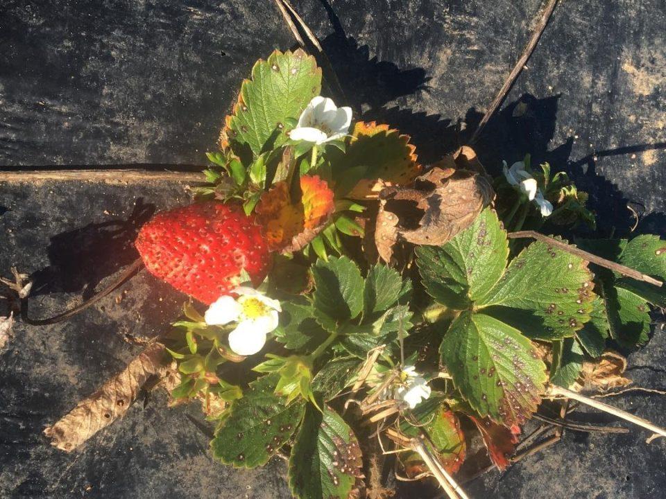 Fraisiers en fleur au mois de février